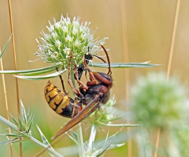 Hornet catches