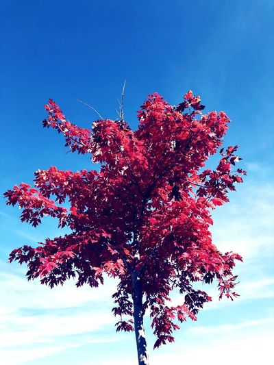 The red Tree Plant Sky Tree No People Nature Beauty In Nature Blue Growth Red Day Outdoors Flower Clear Sky Branch Flowering Plant Tranquility Freshness