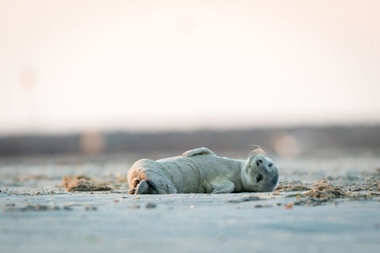 Seal Lying On Sand At Beach Against Clear Sky During Sunset