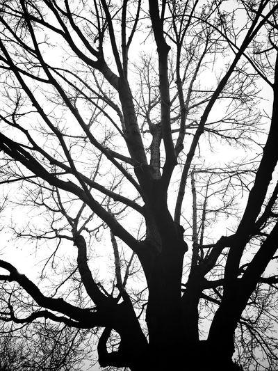 KCe Filter TreePorn Blackandwhite