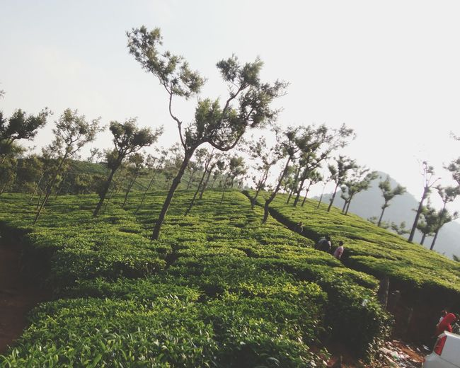 Green Green Green!  Ooty Beauty Evening View Sunset Sun Clouds Skylovers Sky Nature Beautifulinnature Naturalbeauty Photography Landscape [a:12422] Travel Destinations6 Best Of E YeEm Love This View Tea Leaves Bo Om Boom Click_india_c Lick Heavenly Scents Flavored Tea Yum Yum The Street Photographer - 2016 EyeEm Awards The EyeEm Bestsellers The Essence Of Summer- 2016 EyeEm Awards EyeEm EyeEm Best Shots The Eyeem Collection At Getty Imagesat Ooty