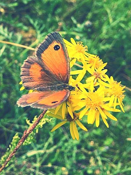 Beauty in the English countryside Butterfly - Insect Animal Wildlife Beauty In Nature Spread Wings Flower Close-up Insect Nature Plant Animal Themes Englishcountryside