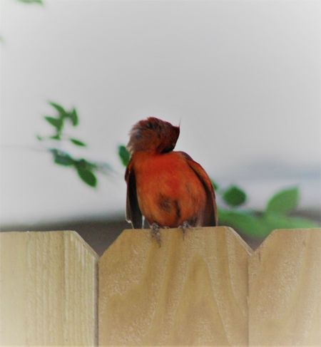 Animal Themes Animal Wildlife Animals In The Wild Beauty In Nature Bird Close-up Day Nature No People One Animal Outdoors Perching Cleaning And Preening Popular Photos Things In My Back Yard Redbird