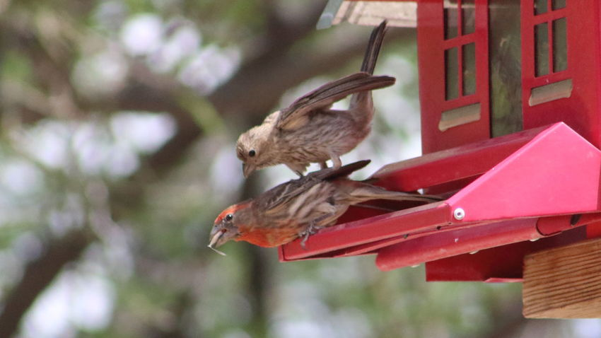 Fighting over sunflower seeds. Animal Themes Avian Beauty In Nature Bird Bird Feeder Close-up Day Finch Focus On Foreground House Finch Nature No People Outdoors Perching Selective Focus Wildlife