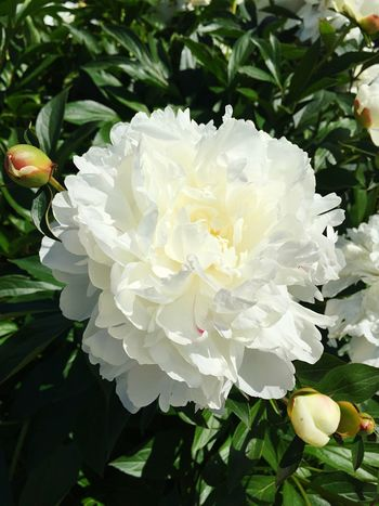 Pion bushes Bushes Pion Day Pion Bushes No People Peonie White Color White Flower White Peonies
