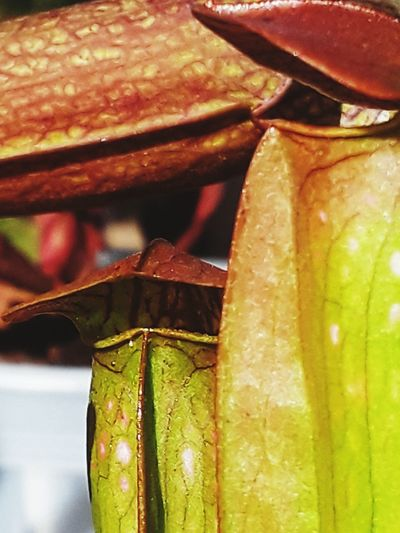 Carnivorousplant Bugeatingplants Sarracenia Bog Plants Green Color Plants Plant Part Nature Outdoors Growth Plant Macro Close-up Pitcher Plant Pitcher Hooded Pitcher Plant Sarracenia Bug Bat Plant