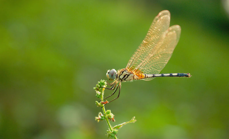 a beautiful dragon fly at sunset time. Animals In The Wild Animal Wing Green Color Nature Dragonfly Beauty In Nature Insect India Nature Insect Macro  ASIA Yellow Light Sunlight Wildlife & Nature Wild India Resting Close-up Plant Outdoors One Animal Colorful Beautiful