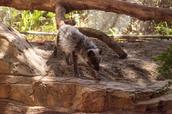 Arctic fox Vulpes lagopus with brown fur seen in the warmer months Arctic Fox Fuzzy Animal Themes Animal Wildlife Animals In The Wild Brown Fur Cage Captivity Cute Day Fox Mammal Nature No People One Animal Outdoors Vulpes Lagopus Vulpine