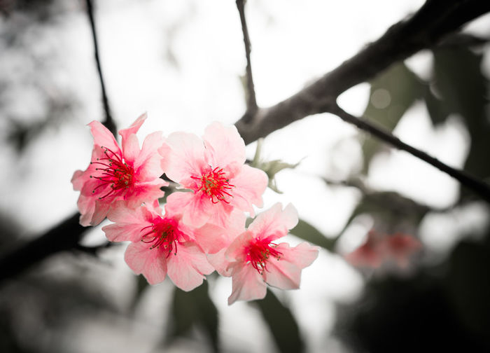 Sakura in darkness Beauty In Nature Blooming Close-up Day Flower Flower Head Fragility Freshness Growth Nature No People Outdoors Petal Pink Color Springtime