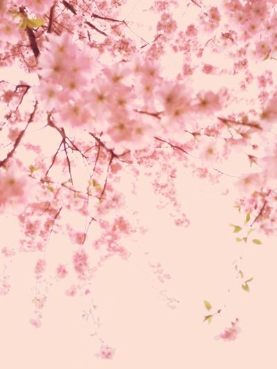 Spring Into Spring Sakura Cherry Blossoms Spring Pink Flowers Nature Minimalism Trees Dreaming