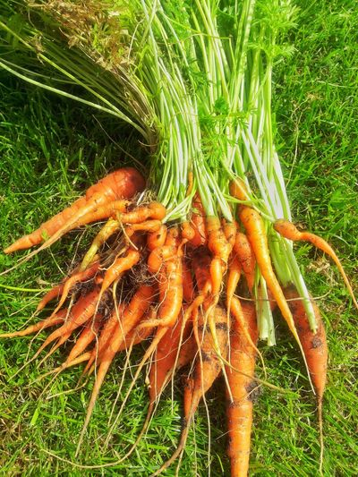 Grass Nature Freshness Carrots Garden CarrotJuice Fresh Carrots Diet Vegetables Vegetable Garden Taste Of Summer  Reap Reap Carrots