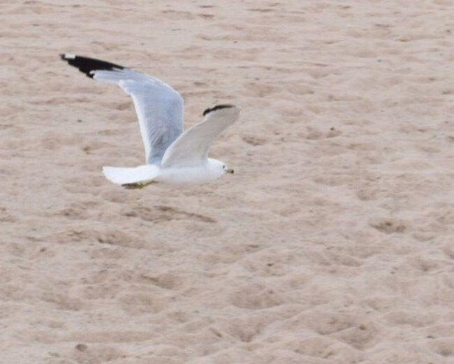 Bird Sand One Animal Animal Wildlife Animals In The Wild Nature Beach Day Outdoors Indiana Dunes Sea Gull Flying Spread Wings Nature