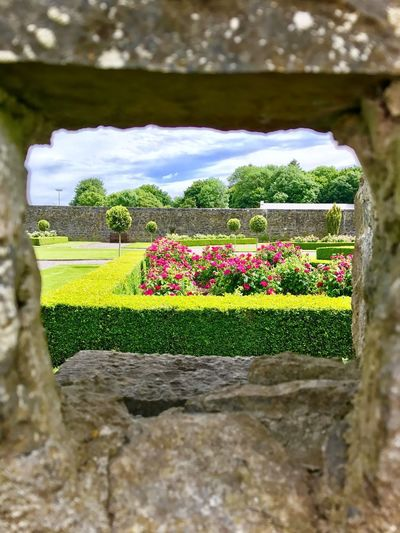 A view into the rose garden from outside the old wall! Flower Nature Day Growth Beauty In Nature Plant Green Color Outdoors No People Topiary Fragility Water Freshness Sky Flowerbed Architecture Tree Grass Flower Head Close-up Ireland