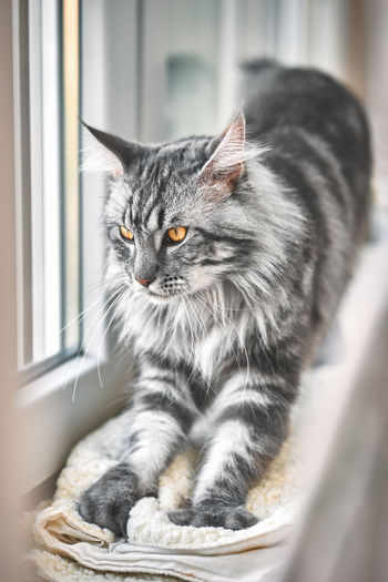 Domestic Cat Cat Pets Animal Mammal Indoors  Window Whisker Maine Coon Cat Mainecoon Grey Kitty Cute Silver Colored Beautiful Tomcat Cat Eyes Pedigree Purebred Film No People Feline Pretty Streching Adorable