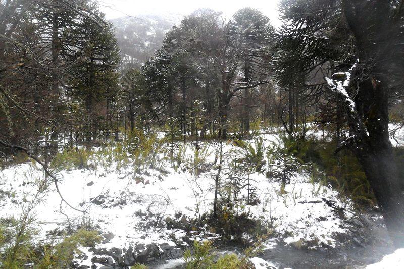 Araucarias y mucha nieve ❤🙏 Sur De Chile Malalcahuello Arboles , Naturaleza Naturelovers EyeEm Nature Lover Lomejooor♥♥ Beautiful Nature Chile