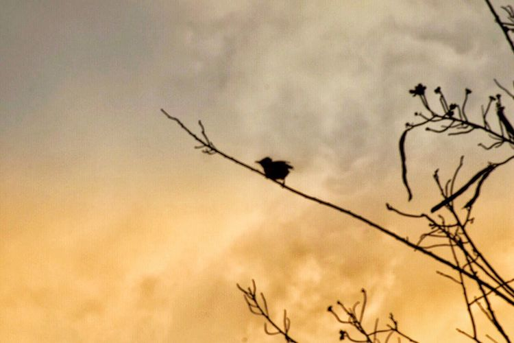 Sky Bird Silhouette Animal Themes Animal Plant Vertebrate Animals In The Wild Animal Wildlife Nature No People Cloud - Sky Low Angle View Tree Beauty In Nature Bare Tree Sunset Tranquility Group Of Animals Flying