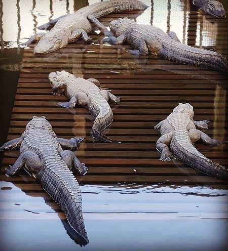 Aligators Gators Letsleepinggatorslie Nature Amazinganimals Photography Primeshots Igpowerclub Igprimeshots Picoftheday Fiftyshades_of_nature Photosniper