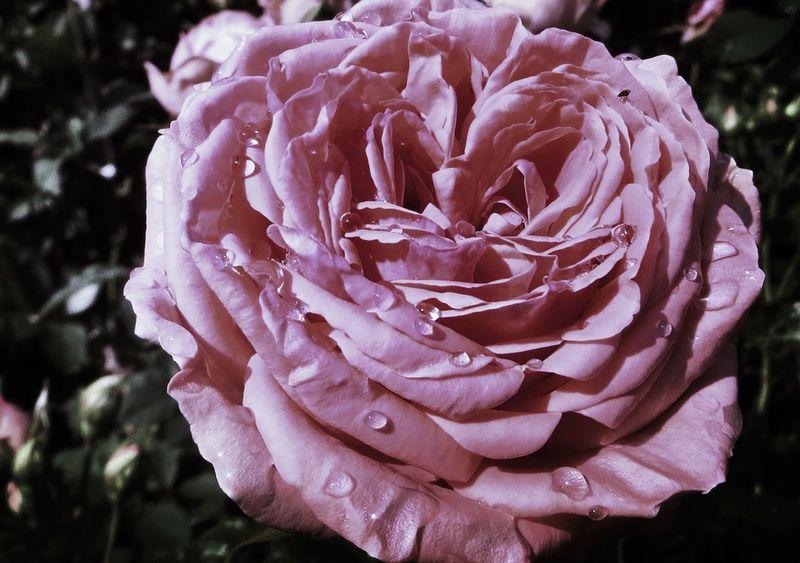 Raindrops on roses. 🌹 In My Garden Denmark EyeEm Tadaa Community