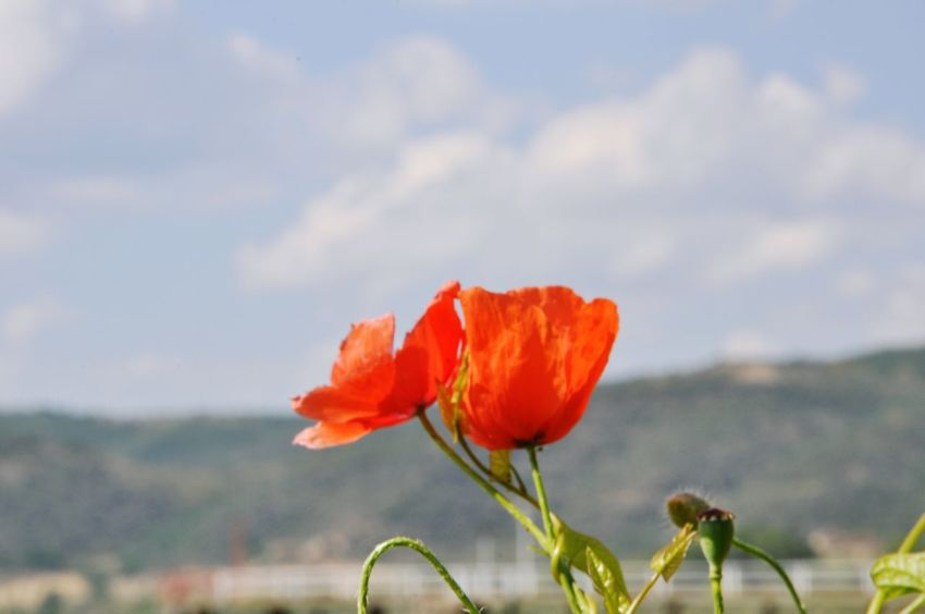 Flower Plant Poppy Nature Red Uncultivated Growth Fragility Close-up No People Beauty In Nature Sky Outdoors Cereal Plant Leaf Day Flower Head Freshness Trasimeno Trasimenolake The Great Outdoors - 2017 EyeEm Awards