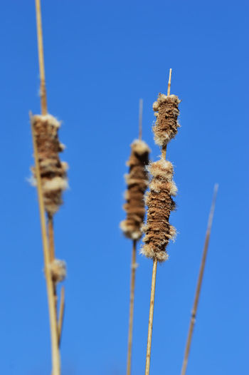 Reeds against the clear blue Standing Tall More Than 1 Outdoors Day March 2018 Clear Sky Blue