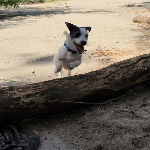 This is one happy dog 🐶 Pistol Jackrussell Jackrusselterrier Puppy Dogsofinstagram Happydog