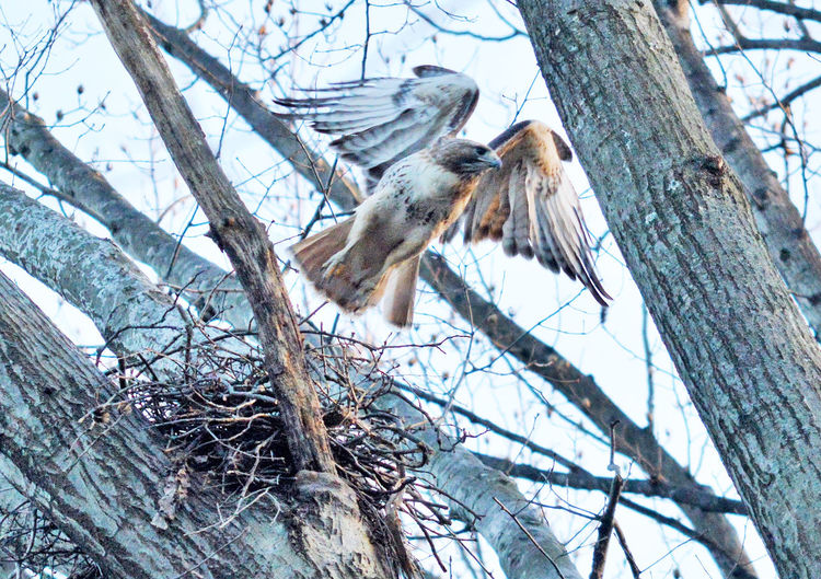 Red tail hawk takinh flight Birds Of EyeEm  Hawks Nest Red Tailed Hawk Red Tail Hawk Angelic Animals Animal Themes Bare Tree Bird Bird Of Prey Birds_collection Branch Feathers And Flight Flight Hawks Hawks Of Eyeem Nature Raptors Sky Tree Wings Spread