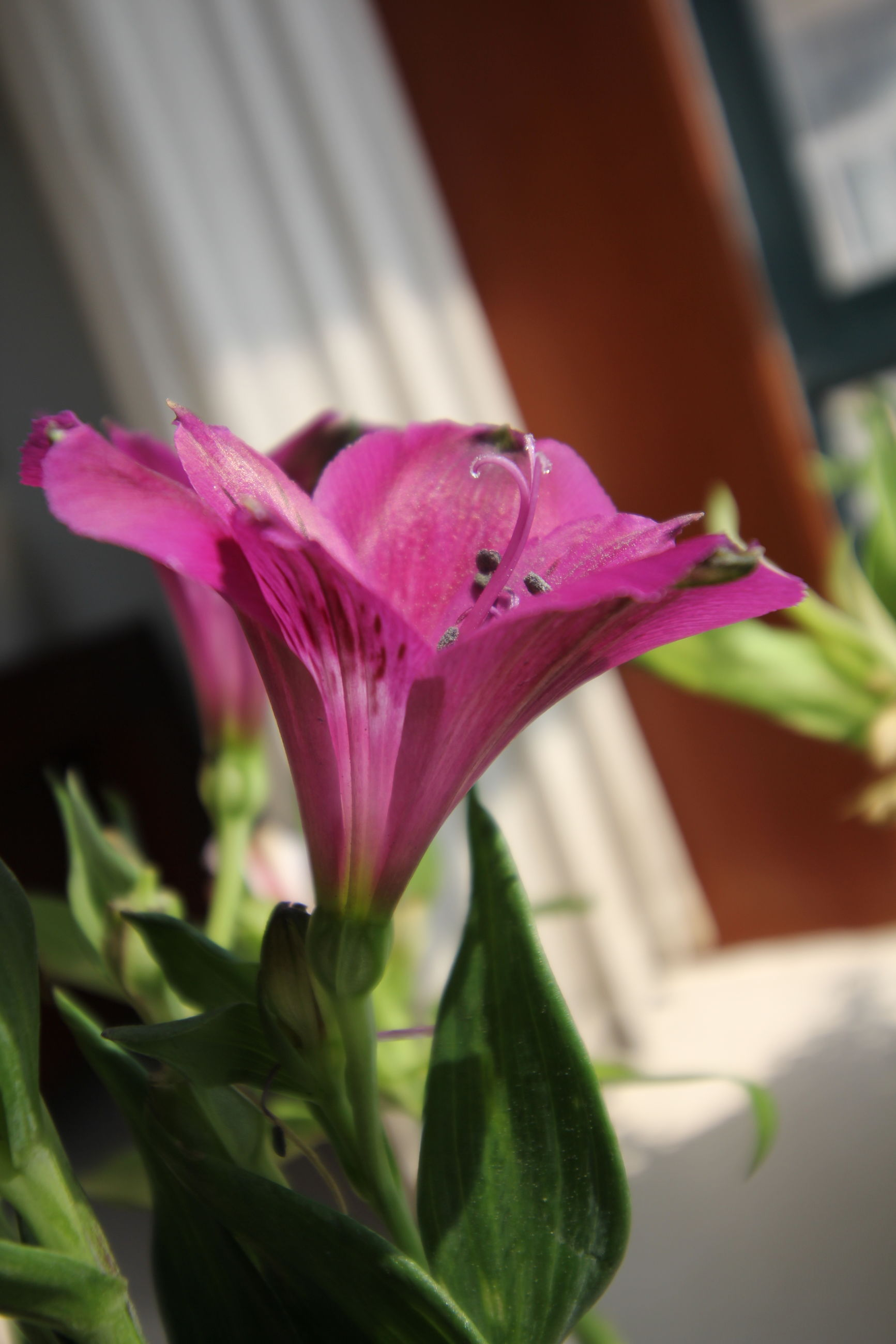 flower, freshness, fragility, petal, beauty in nature, nature, flower head, growth, close-up, focus on foreground, plant, blooming, pink color, day, no people, outdoors, day lily