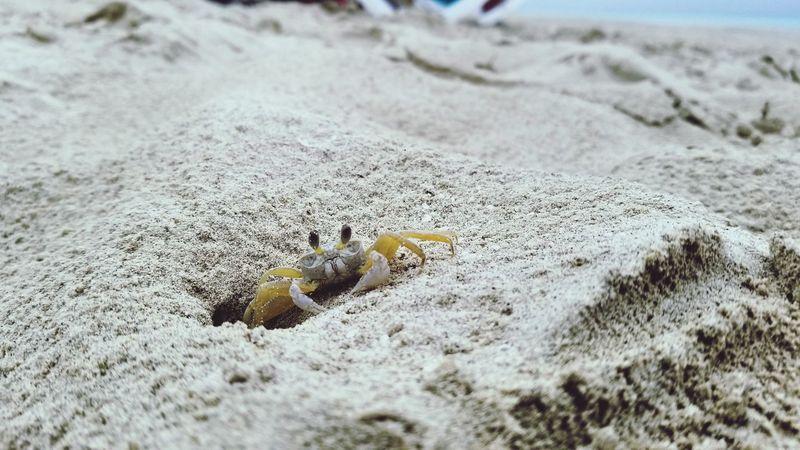 Sea Life Beach UnderSea Sea Sand Close-up Crab Claw Sandy Beach