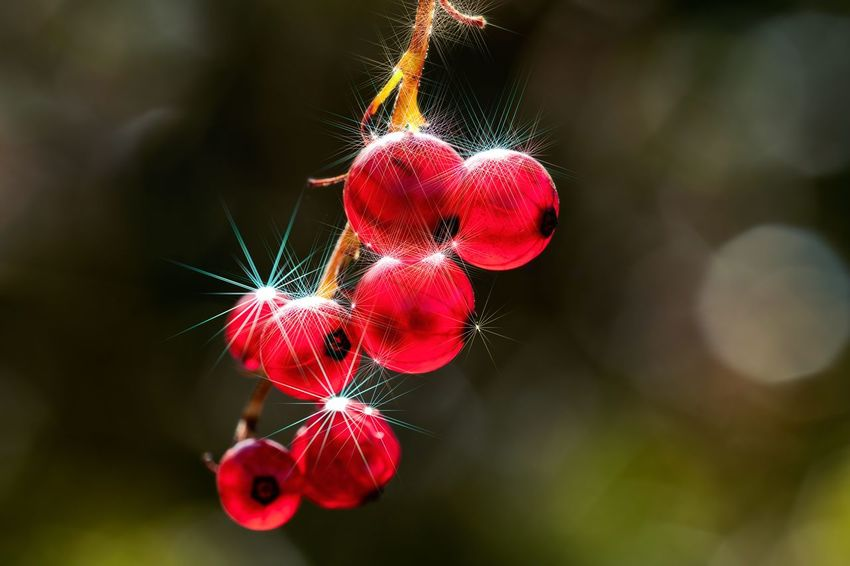 Currant Christmas Christmastime Stars Redcurrant Red No People Nature Close-up Focus On Foreground Outdoors Plant Beauty In Nature