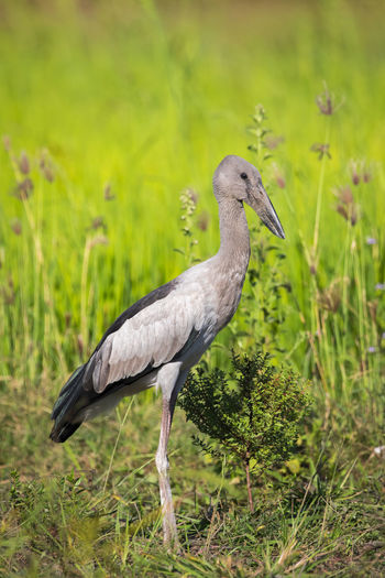 Image of Asian openbill stork on natural background. Wild Animals. Bird. Stork White Background Nature Green Bird Grass Natural Animal Beak Red Beauty Beautiful Wildlife Wild Fauna Portrait Park Feather  Bill Black Ciconia Nest Ornithology  Fly Spring Wing Flight Summer Symbol Outdoor High Freedom Neck Young National Love Home Care Family Rural Couple Zoo Adult Landscape One Water Colorful Plant Europe