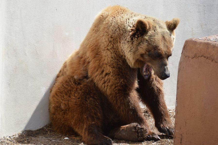 Zoo Mammachesonno Orso Orsobruno Dentini Whywelovenature