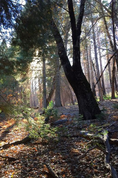 Walking through the forests of Palomar Mountain Palomar Forest Nature Landscape Southern California