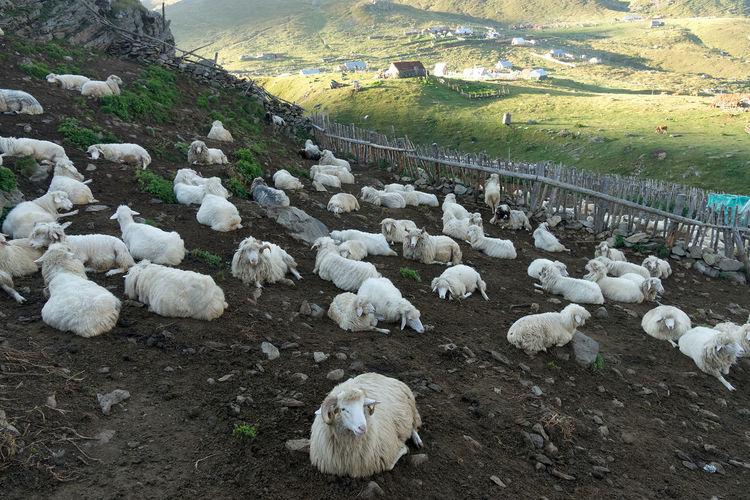 High angle view of sheep on farm