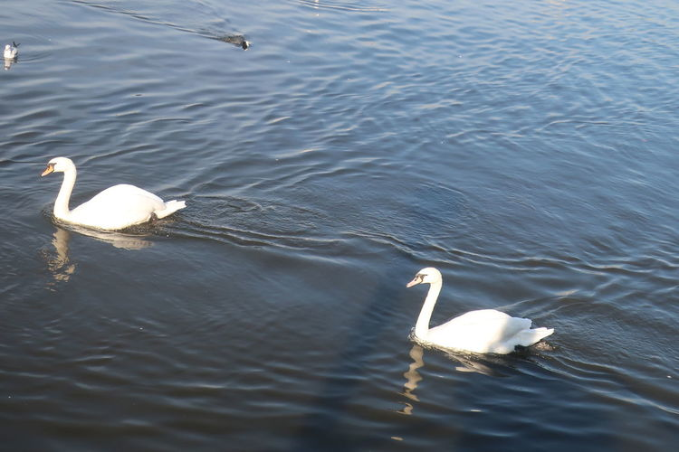Water Bird Animals In The Wild Animal Wildlife Animal Themes Animal Vertebrate Lake Group Of Animals Swimming Swan Water Bird Waterfront Nature Rippled High Angle View Day Mute Swan White Color No People Outdoors Floating On Water Animal Family Hamburg Binnenalster