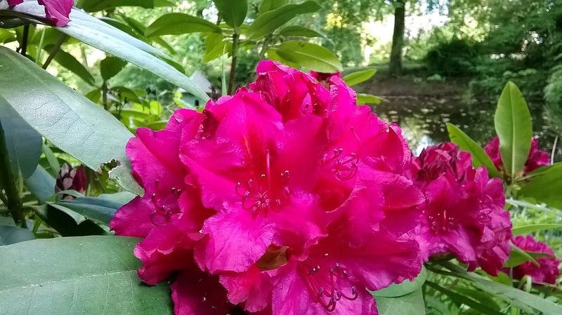 Rhododendron Flower Red