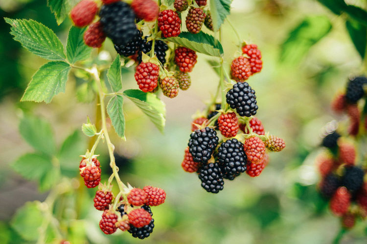 Berry Fruit Blackberry Blackberry - Fruit Close-up Day Focus On Foreground Food Food And Drink Freshness Fruit Growth Healthy Eating Leaf Nature No People Outdoors Plant Plant Part Red Ripe Rowanberry Unripe Wellbeing
