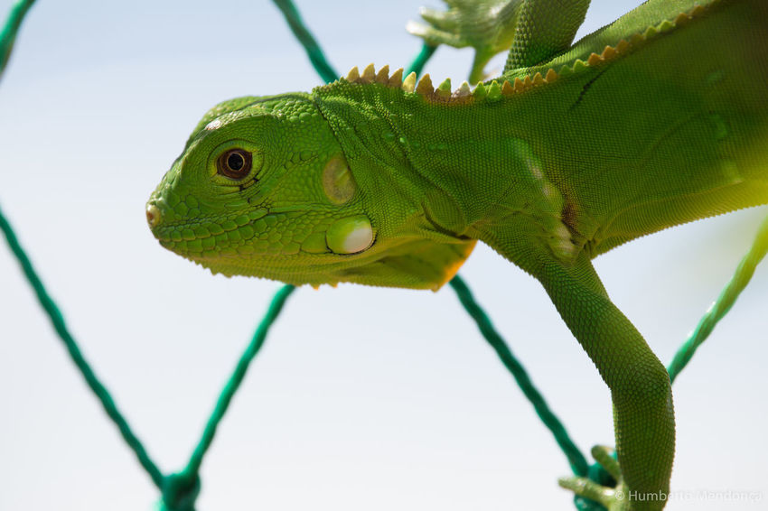 Animal Animal Head  Beauty In Nature Close-up Day Focus On Foreground Green Color Iguana Nature New Life Wildlife