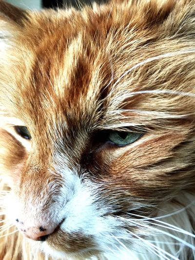 He's a beauty Ginger Cat Best Cat Ever Love Him ♥ Pet Photography  Cats Of EyeEm Cats Old Soul  Old Boy