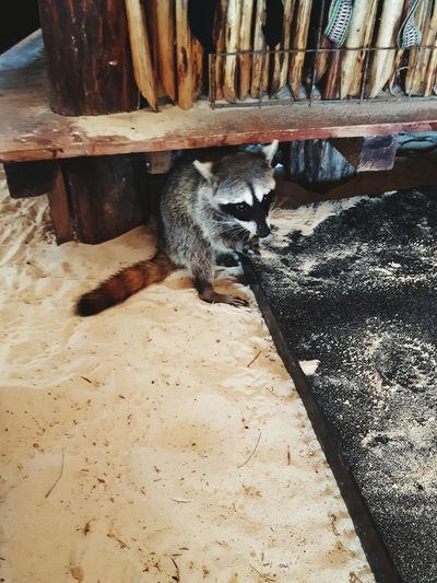 cozumel racoon Racoon Raton Laveur Domestic Cozumel Punta Sur Playa Mexico Lunchtime Lunch Racoonlover Animal Themes One Animal Pets Domestic Animals No People Day Nature