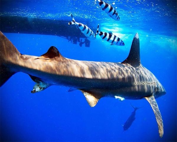 Releasing a marlin. Its a crazy world down there. Fishing Fishingkonastyle Nightrunnersportfishing Blue Marlin