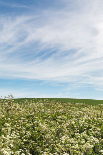 Cow Parsley and Wispy Clouds Agriculture Beauty In Nature Cow Parsley Day Field Green Color Growth Landscape Nature No People Outdoors Plant Rural Scene Scenics Sky Sussex Tranquil Scene Tranquility Vertical Wispy Clouds