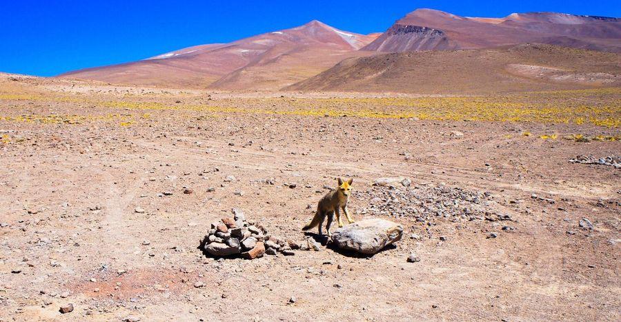 Animal Themes Desert Animals In The Wild zorro salvaje Atacama / Chile 🇨🇱