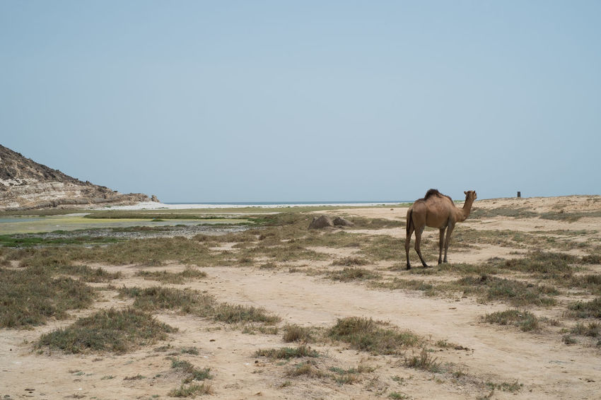 Camel in the distance on the beach of Salalah, Oman. Desert Excotic Oman Animal Animals In The Wild Arabic Beach Camel Distant Grass Mammal Nature One Animal Outdoors Sand Shore Warm Wildlife