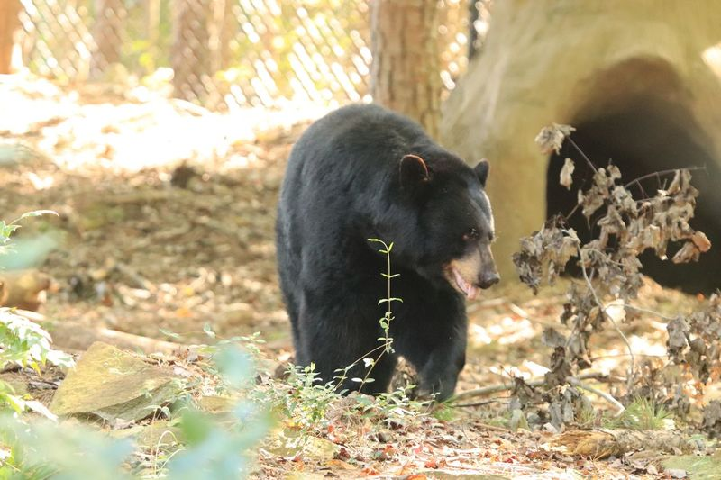 Black Bear Zoo Photography  Animal Themes Animal Mammal One Animal Vertebrate Animal Wildlife Animals In The Wild Sunlight Nature Land Plant Tree Day No People Forest Field Bear Focus On Foreground Herbivorous