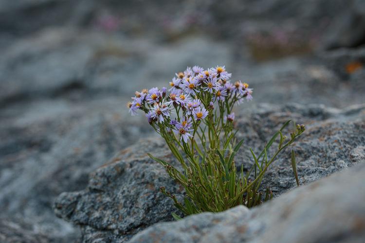 Group of purple wild flowers on a rock