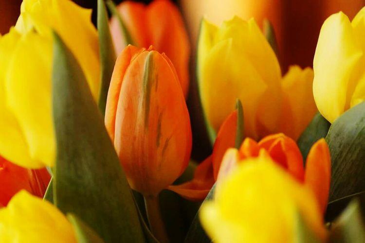 Flowers Tulip Tulpaner Påsk