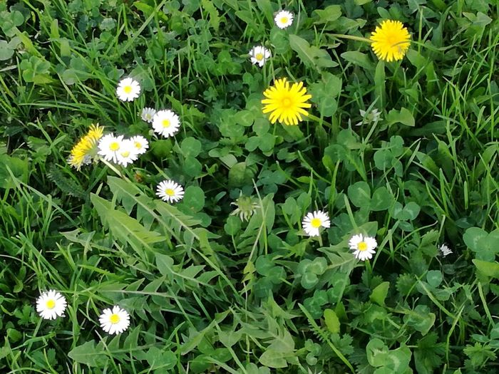 Green Grass Grass Photography Grass And Flowers Backgrounds Fresh Green Grass Green Color Flower Head Flower Leaf Petal Yellow Blooming Close-up Green Color Plant Spring Blossoming  Daisy In Bloom Daffodil Blossom Botanical