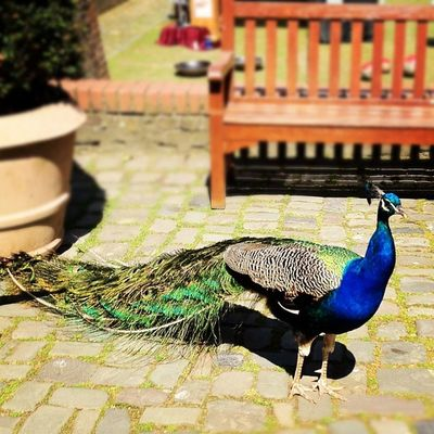 #pfau #bird #animal #animals #natur #nature #rheydt #schloss #peacock #peafpowl #peachick #picoftheday #pictureoftheday #potd #instagood #instamood #instadaily #bofd #bestoftheday #nrw NRW Tenlikes Peacock Peachick Pfau Bofd Picoftheday Peafpowl Schloss Ten Instamood Bestoftheday 10likes Summer POTD Nature Instagood Natur Instadaily Animals Pictureoftheday Animal Rheydt Bird
