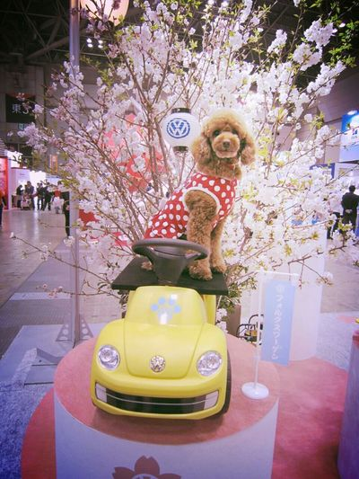 Volkswagen フォルクスワーゲン Inter Pets Interpets インターペット Ange Mydog Poodle Doggy Driving