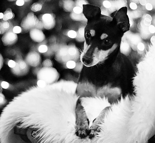 Christmas MerryChristmas Natale  Animali Animals Minipin Chanel Minipinscher Pincher Zwergpinscher Dog Dogoftheday Dogofinstagram Puppy Love Lovemydog Life Pincher Chiuaua Beauty Cutedog Cute Brunette Lights Christmastree christmasdecorations